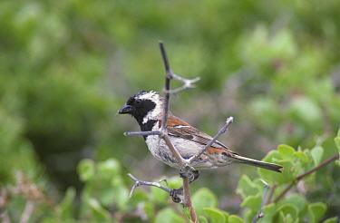 Cape Sparrow (Passer melanurus) Male perched on twig  -  David Hosking/ FLPA