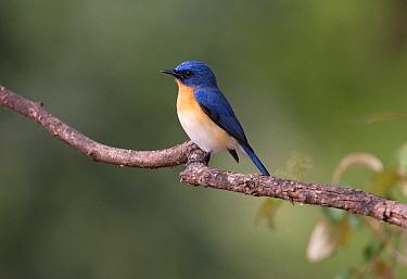 Tickell's Blue-flycatcher (Cyornis tickelliae) adult male, perched on branch, Gir National Park, Gujarat, India, november  -  Neil Bowman/ FLPA