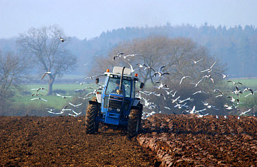 Contractor ploughing in farmyard manure, ready for potato crop, followed by flock of gulls, Howgrave Lodge, North Yorkshire, England  -  John Eveson/ FLPA