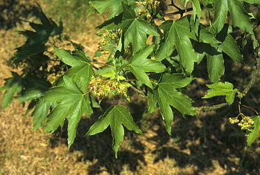 Red-bud Maple (Acer trautvetteri) leaf  -  Keith Rushforth/ FLPA