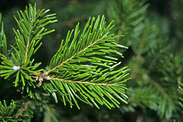 Sakhalin Fir (Abies sachalinensis) leaf  -  Keith Rushforth/ FLPA