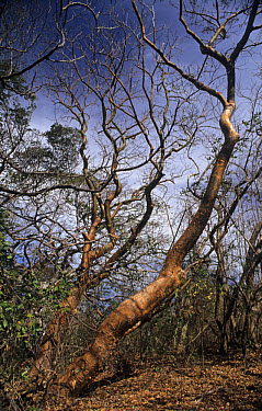 Gumbo Limbo (Bursera simaruba) habit, in tropical dry forest, Santa Rosa National Park, Costa Rica  -  Derek Hall/ FLPA