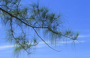Australian Pine (Casuarina sp) leaves, introduced species, Dry Tortugas, Florida  -  Chris Mattison/ FLPA