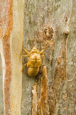 Emerald Cicada (Cicadoidea) exuvium, empty nymphal case on eucalyptus trunk, Australia  -  Krystyna Szulecka/ FLPA