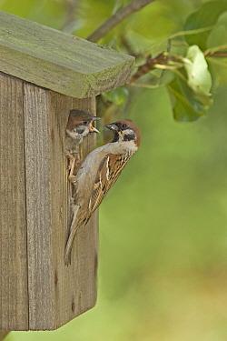 Eurasian Tree Sparrow (Passer montanus) adult, at nestbox in pear tree, feeding young, England  -  John Hawkins/ FLPA