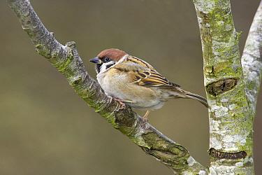 Eurasian Tree Sparrow (Passer montanus) adult, perched in Silver Birch, Warwickshire, England  -  Tony Hamblin/ FLPA