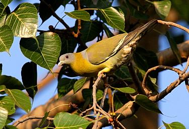 Yellow-footed Green-pigeon (Treron phoenicoptera chlorigaster) adult, feeding in fruiting tree, Madhya Pradesh, India, november  -  Neil Bowman/ FLPA