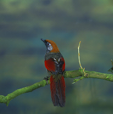 Red-tailed Laughingthrush (Garrulax milnei) perched  -  David Hosking/ FLPA