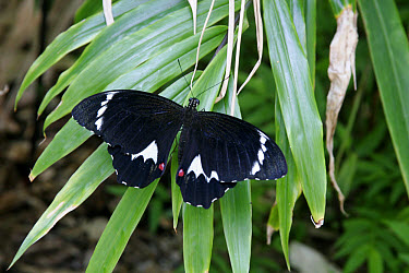 Orchard Swallowtail (Papilio aegeus) adult male, resting on leaf  -  Martin Withers/ FLPA