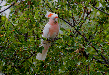 Major Mitchell's Cockatoo (Cacatua leadbeateri) adult female, feeding on tree fruit, Southern Queensland, Australia, january  -  Neil Bowman/ FLPA