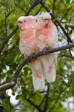 Major Mitchell's Cockatoo (Cacatua leadbeateri) adult pair, perched together in tree, Southern Queensland, Australia, january  -  Neil Bowman/ FLPA