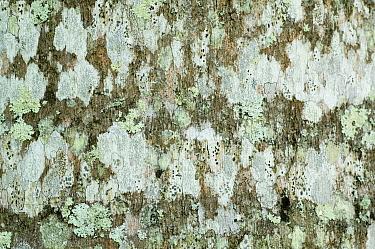 Puerto Rican Royal Palm (Roystonea borinquena) close-up of lichen covered bark, Puerto Rico  -  Krystyna Szulecka/ FLPA