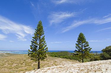 Norfolk Island Pine (Araucaria heterophylla) young trees, in coastal habitat, Rottnest Island, Western Australia  -  Krystyna Szulecka/ FLPA