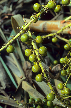 Dragon Tree (Dracaena draco) fruit, Portugal  -  Bob Gibbons/ FLPA