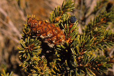 Foxtail Pine (Pinus balfouriana) leaf and fruit  -  Van Hoey Smith/ FLPA