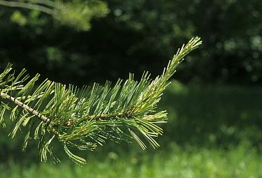 Foxtail Pine (Pinus balfouriana) leaf, june  -  Martin Withers/ FLPA