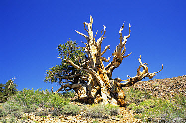 Rocky Mountains Bristlecone Pine (Pinus aristata) ancient trees, California  -  S & D & K Maslowski/ FLPA
