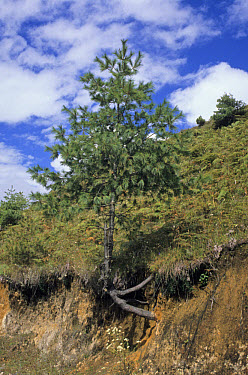 Blue Pine (Pinus wallichiana) growing out from side of road, Yotong La, Central Bhutan  -  Keith Rushforth/ FLPA