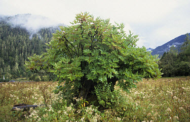 Ludlow's Tree Peony (Paeonia ludlowii) habit, Chunyima, Southeast Tibet  -  Keith Rushforth/ FLPA