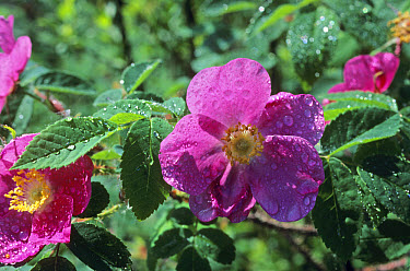 Prickly Rose (Rosa acicularis) in flower, raindrops, Alaska  -  Steve McCutcheon/ FLPA