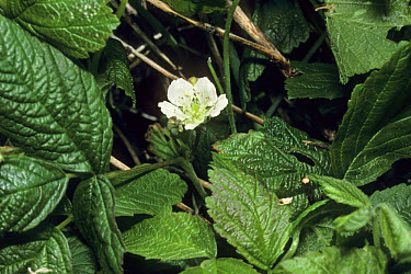 Stone Bramble (Rubus saxatilis) leaf and flower  -  Ian Rose/ FLPA