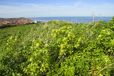 Horse parsley (Smyrnium olusatrum) flowering, growing on coastal high ground, Norfolk, England  -  Gary K Smith/ FLPA