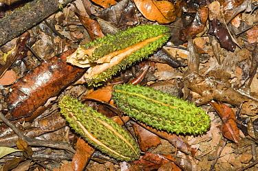 Queensland Silver Ash (Flindersia bourjotiana) fallen fruit, Atherton Tablelands, Queensland, Australia  -  Krystyna Szulecka/ FLPA