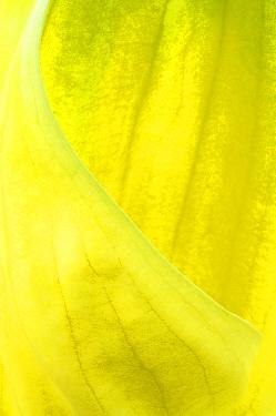Yellow Skunk Cabbage (Lysichitum americanum) close-up of spathe, in garden, Yorkshire, England  -  Krystyna Szulecka/ FLPA