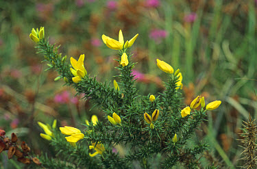 Dwarf Gorse (Ulex minor) in bloom  -  Ian Rose/ FLPA