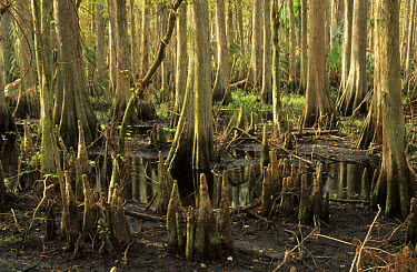 Bald Cypress (Taxodium distichum) trunks and 'knees', Highlands Hammock State Park, Florida  -  Mark Newman/ FLPA
