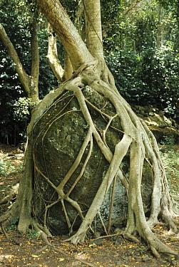 Chinese Banyan Tree (Ficus microcarpa) roots, growing over boulder, Waimea Falls, Oahu, Hawaii  -  Mark Newman/ FLPA