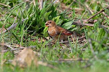 Crimson-winged Finch (Rhodopechys sanguinea) adult male, feeding in patch of weeds, Armenia  -  Neil Bowman/ FLPA
