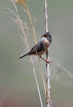 Menetries's Warbler (Sylvia mystacea) adult male, singing, perched on dead reed, Armenia  -  Neil Bowman/ FLPA