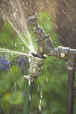 Garden tap with leaking hose fitting, water wastage, England  -  Gary K Smith/ FLPA