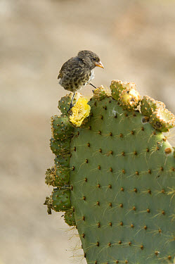 Sharp-beaked Ground-Finch (Geospiza difficilis) adult, feeding on Cactus (Opuntia helleri), Darwin Bay, Genovesa, Galapagos Islands, Ecuador  -  Krystyna Szulecka/ FLPA
