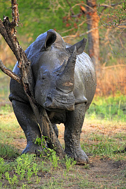 White Rhinoceros (Ceratotherium simum) adult male, rubbing against tree, Sabi Sabi Game Reserve, Kruger National Park, South Africa  -  Jurgen and Christine Sohns/ FLPA