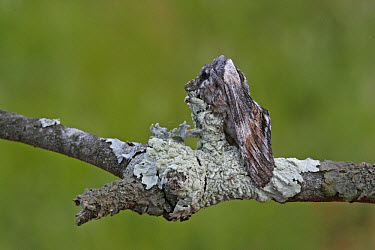 Tawny Prominent (Harpyia milhauseri) adult, resting on lichen covered twig, camouflaged, Spain  -  Martin Withers/ FLPA