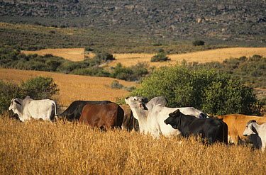 Brahma Cattle (Bos indicus) brahman bull, scenting cows, in mixed herd, Seivefontein, Namaqualand, South Africa  -  Chris & Tilde Stuart/ FLPA
