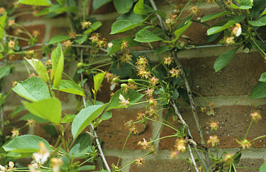 Sour Cherry (Prunus cerasus) 'Morello', flowers and young fruit developing, growing against wall, England  -  Rosie Jordan/ FLPA