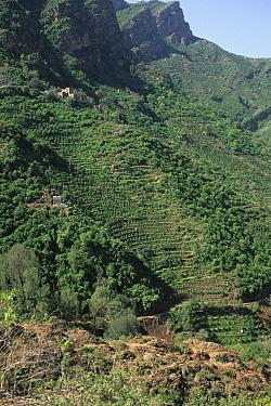 Steep terracing with Khat (Catha edulis) plantations, Western Yemen  -  Chris & Tilde Stuart/ FLPA