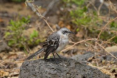 Chatham Mockingbird, photographed on San Cristobal, Galapagos islands  -  David Hosking/ FLPA