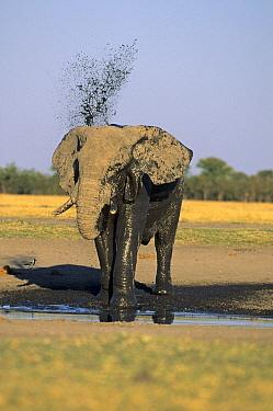 African Elephant (Loxodonta africana) adult, spraying muddy water, Chobe National Park, Botswana  -  Winfried Wisniewski/ FLPA