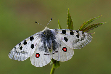 Mountain Apollo (Parnassius apollo) adult, upperside, resting on plant, France  -  Martin Withers/ FLPA