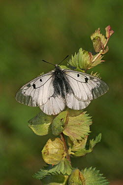 Clouded Apollo (Parnassius mnemosyne) adult, upperside, resting on plant, France  -  Martin Withers/ FLPA