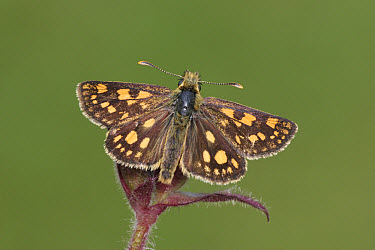 Chequered Skipper (Carterocephalus palaemon) adult, upperside, resting on plant, France  -  Martin Withers/ FLPA