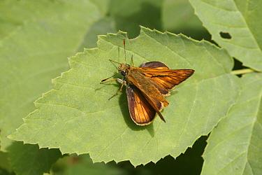 Large Skipper (Ochlodes venata) adult, upperside, resting on leaf, Hungary  -  Martin Withers/ FLPA