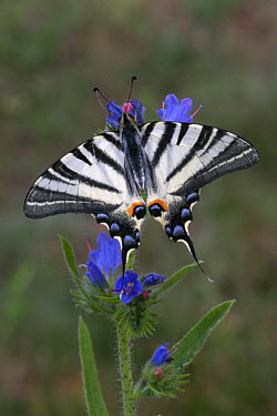 Scarce Swallowtail (Iphiclides podalirius) adult, upperside, resting on Viper's Bugloss (Echium vulgare), Hungary  -  Martin Withers/ FLPA