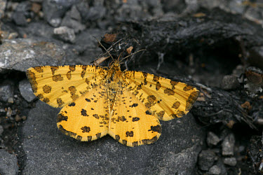 Speckled Yellow (Pseudopanthera macularia) adult, upperside, feeding on dung, France  -  Martin Withers/ FLPA