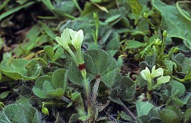 Burrowing Clover (Trifolium subterraneum) in flower  -  Ian Rose/ FLPA