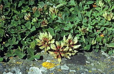 Western Clover (Trifolium occidentale) in flower  -  Ian Rose/ FLPA